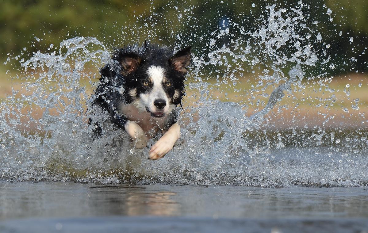 border-collie-running-action-shot