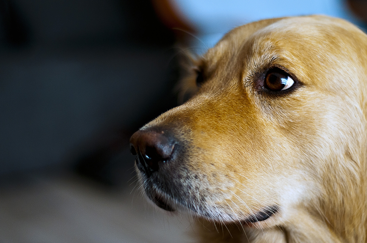 labrador-with-depth-of-field